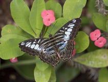 Parthenos sylvia бабочки клипера стоковые изображения