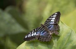 Parthenos sylvia бабочки клипера стоковое изображение rf