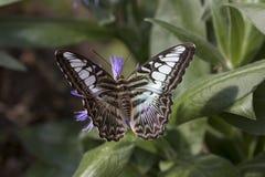 Parthenos sylvia бабочки клипера стоковая фотография
