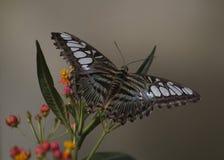 Parthenos sylvia бабочки клипера стоковое изображение