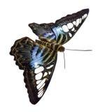 parthenos sylvia бабочки стоковые изображения