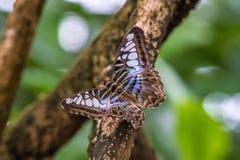 Parthenos sylvia, коричневый клипер, вид бабочки nymphalid стоковые изображения