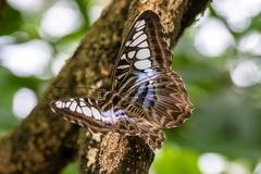 Parthenos sylvia, the brown clipper, is a species of nymphalid butterfly royalty free stock photography