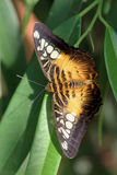 Parthenos sylvia (butterfly). Parthenos sylvia (butterfly on leaf Stock Images