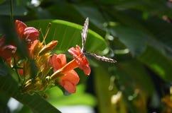 Parthenos Sylvia Butterfly avec des ailes a écarté sur une fleur orange d'Adenium Image libre de droits