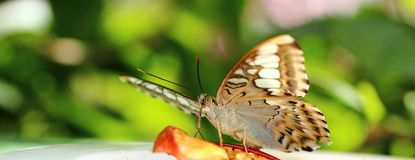 Parthenos sylvia Butterfly Stock Images