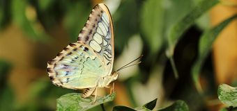 Parthenos sylvia Butterfly Stock Photos