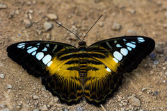 Parthenos sylvia butterfly. Portait of tropical parthenos sylvia butterfly. Macro photography of wildlife Royalty Free Stock Photos