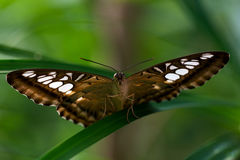 Parthenos sylvia butterfly. Portrait of the tropical parthenos sylvia butterfly. Macro photography of wildlife Royalty Free Stock Photos