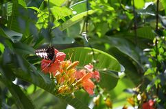 Parthenos Sylvia Butterfly que suga o néctar de uma flor alaranjada do Adenium Fotos de Stock