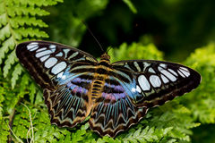 Parthenos sylvia butterfly. Tropical parthenos sylvia butterfly on the green leafs Stock Photography