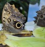 Parthenos Sylvia Clipper Butterfly Stock Foto's