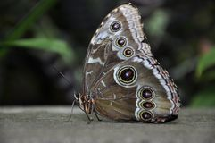 Parthenos Sylvia Clipper Butterfly Royalty Free Stock Photos