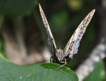 Parthenos Sylvia Clipper Butterfly Royalty-vrije Stock Foto