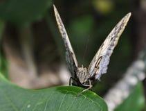 Parthenos Sylvia Clipper Butterfly Royalty Free Stock Photo