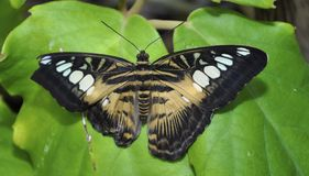Parthenos Sylvia Clipper Butterfly Stock Foto