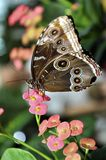 Parthenos Sylvia Clipper Butterfly Royalty Free Stock Photography