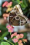 Parthenos Sylvia Clipper Butterfly Royalty-vrije Stock Fotografie