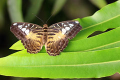 Parthenos sylvia lilacinus stock photo