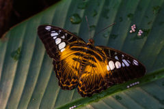 Parthenos Sylvia. Tropical parthenos sylvia butterfly on the green leaf. Macro photography of wildlife Royalty Free Stock Image
