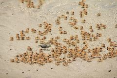 Parti av de lilla krabborna Royaltyfri Foto