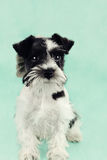 Parti Color Miniature Schnauzer Against Blue Stock Photos