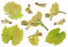 Parti dell'uva messe Immagine Stock