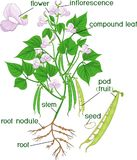 Parti della pianta Morfologia della pianta di fagiolo con il sistema, i fiori, i baccelli ed i titoli della radice Royalty Illustrazione gratis