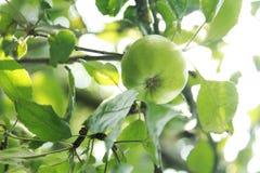 Parti delle ciliege di un ramo di un ciliegio Immagine Stock Libera da Diritti
