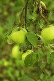 Parti delle ciliege di un ramo di un ciliegio Immagini Stock Libere da Diritti