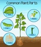 Parti di pianta comuni di scienza illustrazione di stock