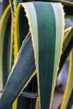 Parti di un'agave enorme Fotografia Stock