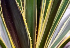 Parti di un'agave enorme Fotografia Stock Libera da Diritti
