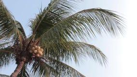 Parti enflé d'arbre de noix de coco par le vent banque de vidéos