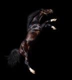 Parti posteriori arabe dello stallion Immagine Stock