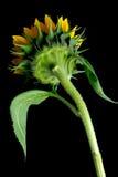 Parti posteriori del fiore di Sun Fotografia Stock Libera da Diritti