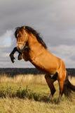 Parti posteriori dello Stallion Immagine Stock