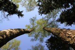Parti superiori degli alberi. Immagini Stock