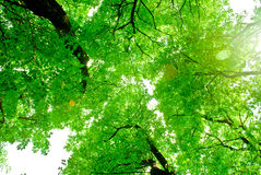 Parti superiori degli alberi verdi con Sun e cielo dal basso Fotografia Stock