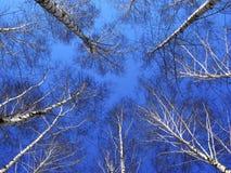 Parti superiori dell'albero della betulla Immagini Stock Libere da Diritti