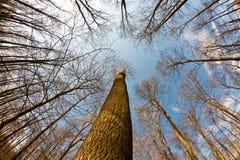 Parti superiori dell'albero della sorgente su cielo blu profondo Immagine Stock