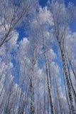 Parti superiori della betulla nel cielo Fotografia Stock Libera da Diritti