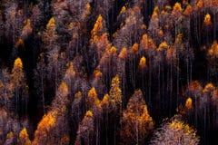 Parti superiori gialle degli alberi nella foresta in autunno Immagini Stock Libere da Diritti