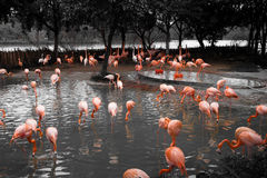 Flamingos. Partial black and white of a group of flamingos (Phoenicopterus) standing in a lake Stock Photo