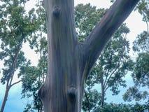Rainbow Eucalyptus Gum Tree stock images