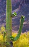 A Saguaro cactus in a desert royalty free stock photos