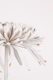 Partial side view of Chrysanthemum Stock Photography