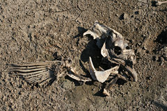 Partial skeleton on ground Royalty Free Stock Images