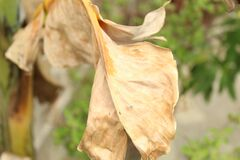 Partial view of dead dried banana leaf with selective focus on it under bright daylight.