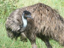 Partial view emu Royalty Free Stock Photography
